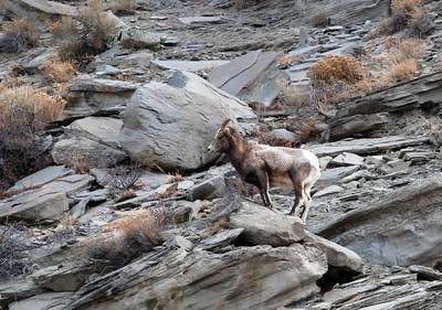 sheep DSC_0879.jpg