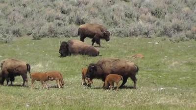 mamma bison clip 720p.mp4