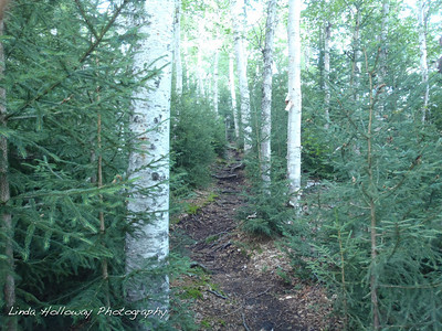 The white aspen trees were plentiful on the trail.  You notice all the roots.  I had to be careful not to trip on a root.  They were a bit slippery from the rain yesterday.