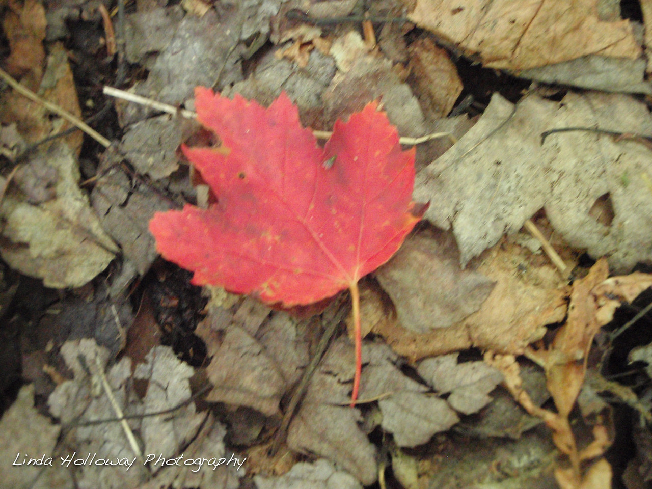 Red leaf at the brook.  Caught my attention by being so red among the brown leaves.