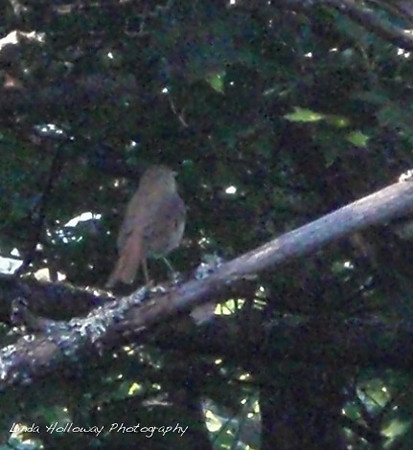 This is a Hermit Thrush.  He was my trail song bird.  Each morning and afternoon he would sing and it sounded like a flute.  There was a hermit thrush on the trail with us until we got to the highest mountains in New Hampshire.  Loved it.