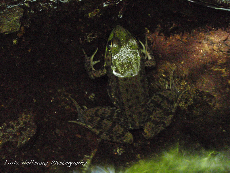 I saw this frog at the brook.  He cooperated for his picture to be taken.