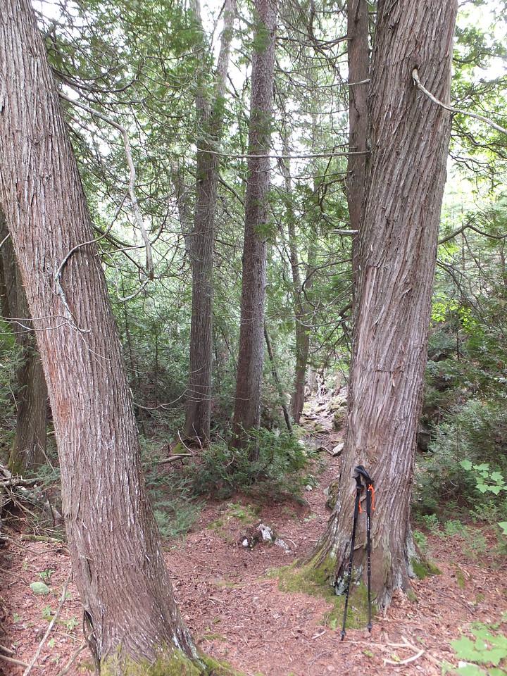 Great cedars