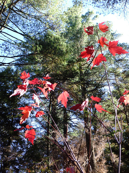 Some of the last red maples in the park