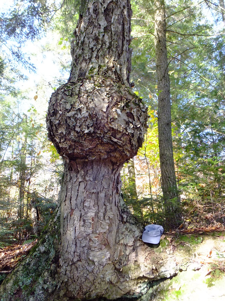 Found a campsite on Maggie Lake that featured this enormous burl.