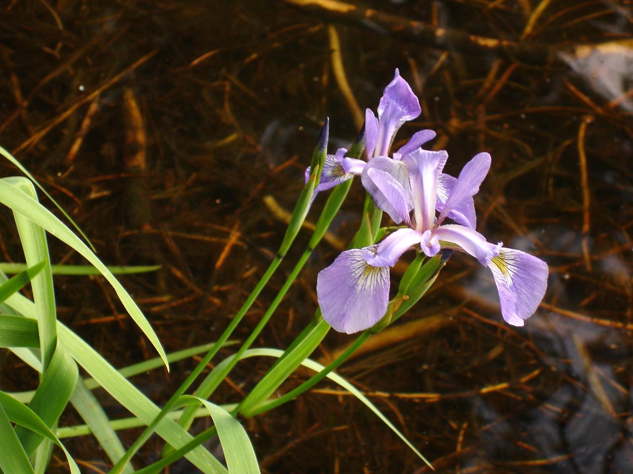 Iris, Ramona Lake
