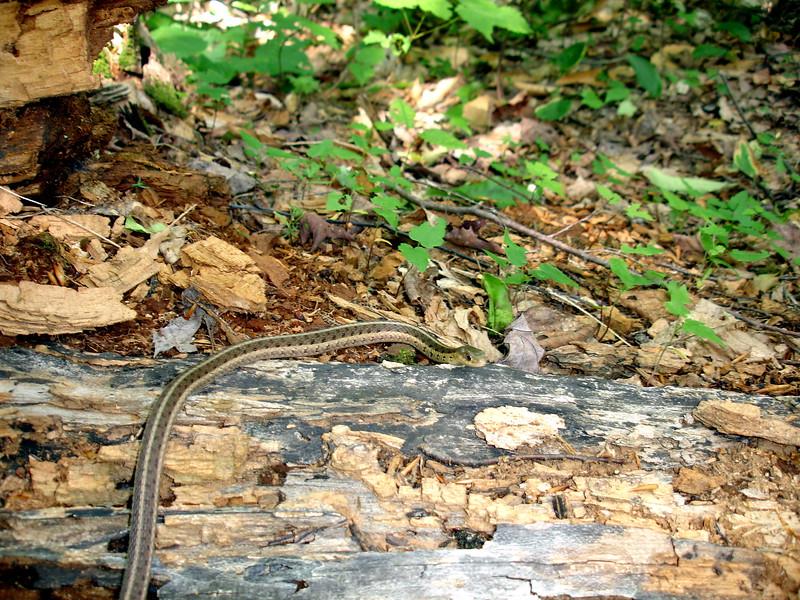 Garter Snake, Guskewau Lake