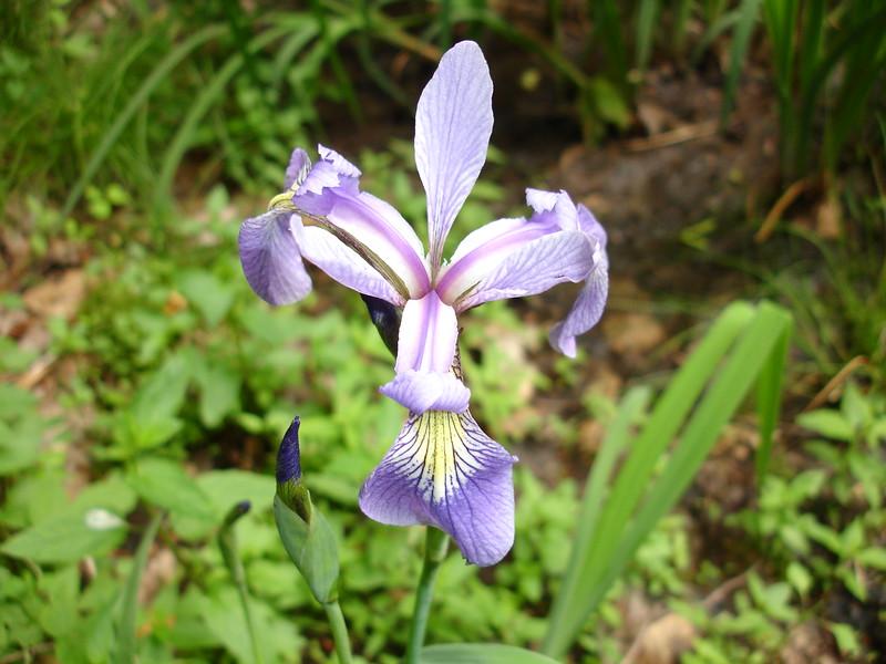 Perfect Iris