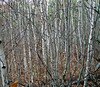 Birch saplings.