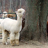 Alpacas and a tree.