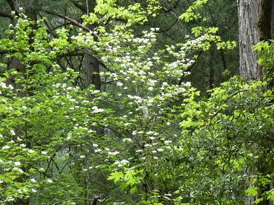 Dogwood blooming everywhere.