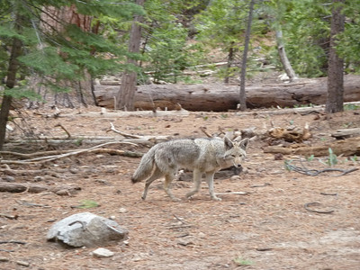 Coyote at the Half Dome - Clouds Rest trail split.