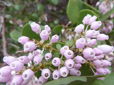 Manzanita blooming.