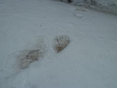 Bear tracks.