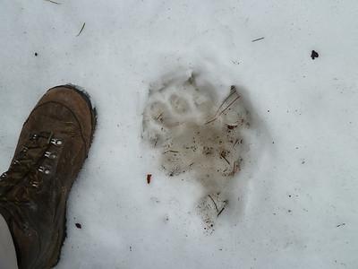 BIG bear tracks in the snow, near the sub-dome.