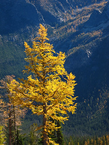 The larches were putting on a show