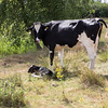 Cow with young