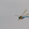 Anax imperator, in-flight