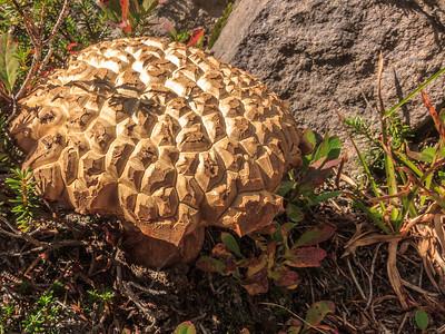 Warted Giant Puffball mushroom