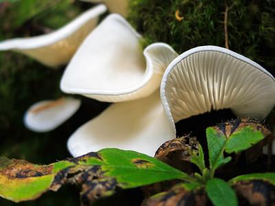 Angel-wings mushrooms