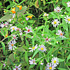 Blue Asters and some orange flower, near Pond of Safety outlet.