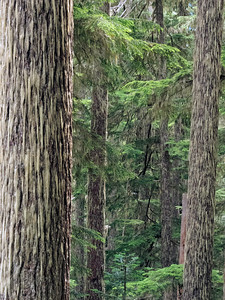 Old growth firs