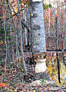 Beaver-created danger tree on the Freezeout Trail.