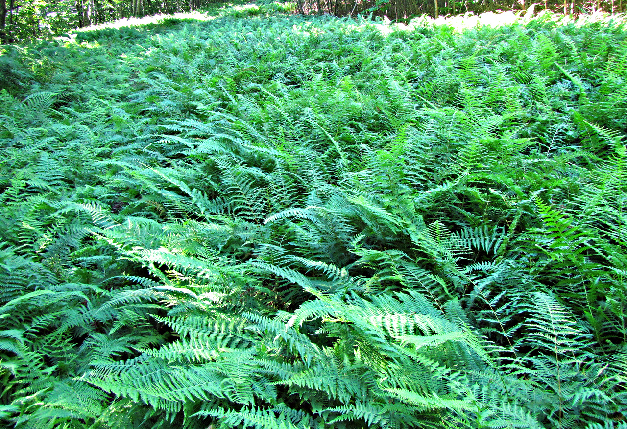 Ferns blanketed sections of the old ski trails.