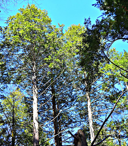 Tall pines on the Codman RR Bridge Trail.