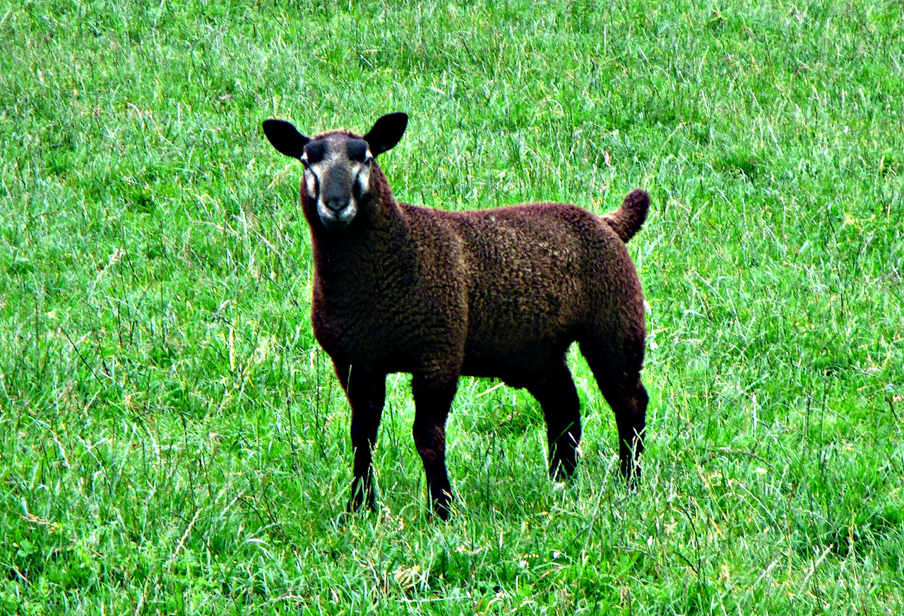 The Black Sheep.