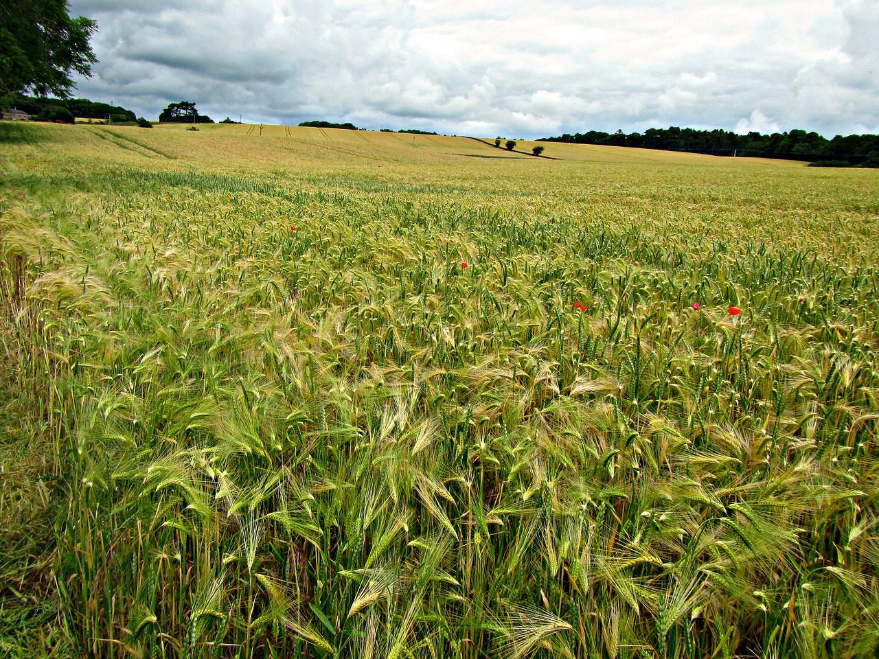 Climbing back to the Wall along a poppy-flecked wheatfield in Acomb.