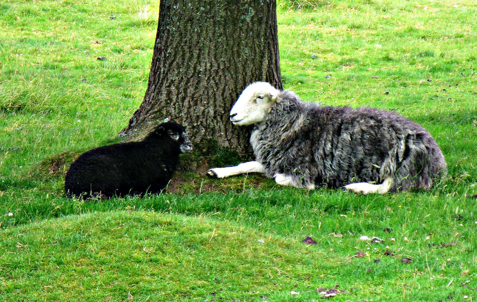 Sheep at rest.