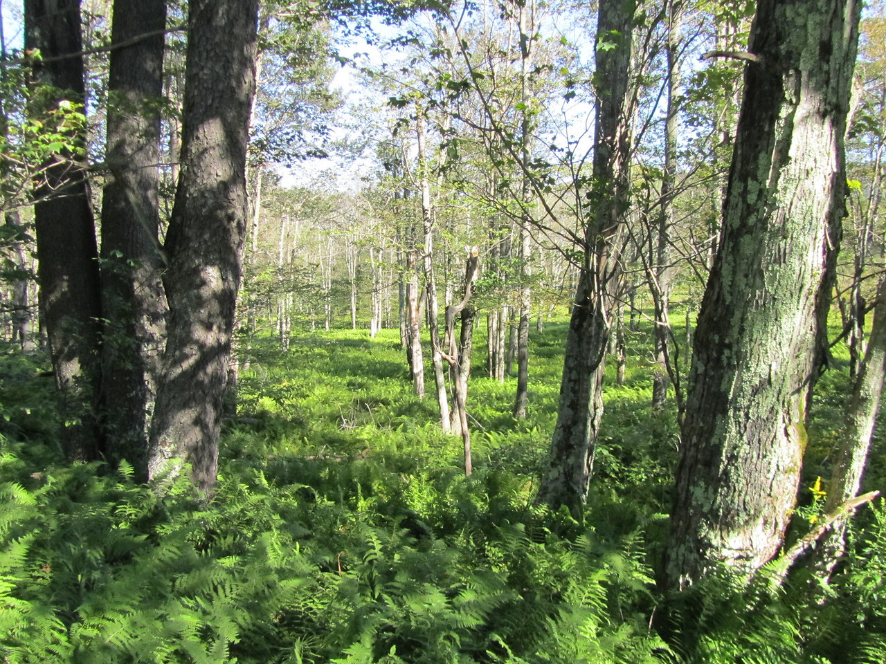 The woods were filled with ferms and looked beautiful. Unfortunately, we learned in Master Forested Volunteer Class that this is not a healthy patch of woods as the ferms choke out any tree trying to grow. Left alone, these woods will die.