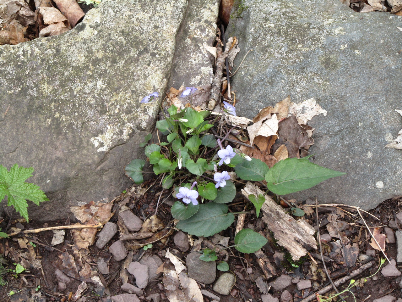 Common blue violet. colors were more vibrant in person. picture did not take well.