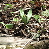 """Wild leeks, or ramps. This salmon recipe sounds delicious.<br />  <a href=""""http://theforagerpress.com/fieldguide/aprilfd.htm"""">http://theforagerpress.com/fieldguide/aprilfd.htm</a><br /> <br /> Some tasty sounding recipes<br />  <a href=""""http://www.mountain-breeze.com/kitchen/ramps/"""">http://www.mountain-breeze.com/kitchen/ramps/</a>"""