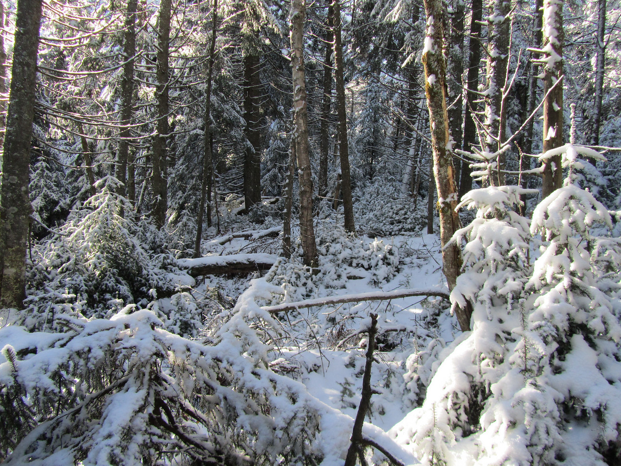 Beautiful snow covered pines. Only 2500ft and thats a lot of snow.