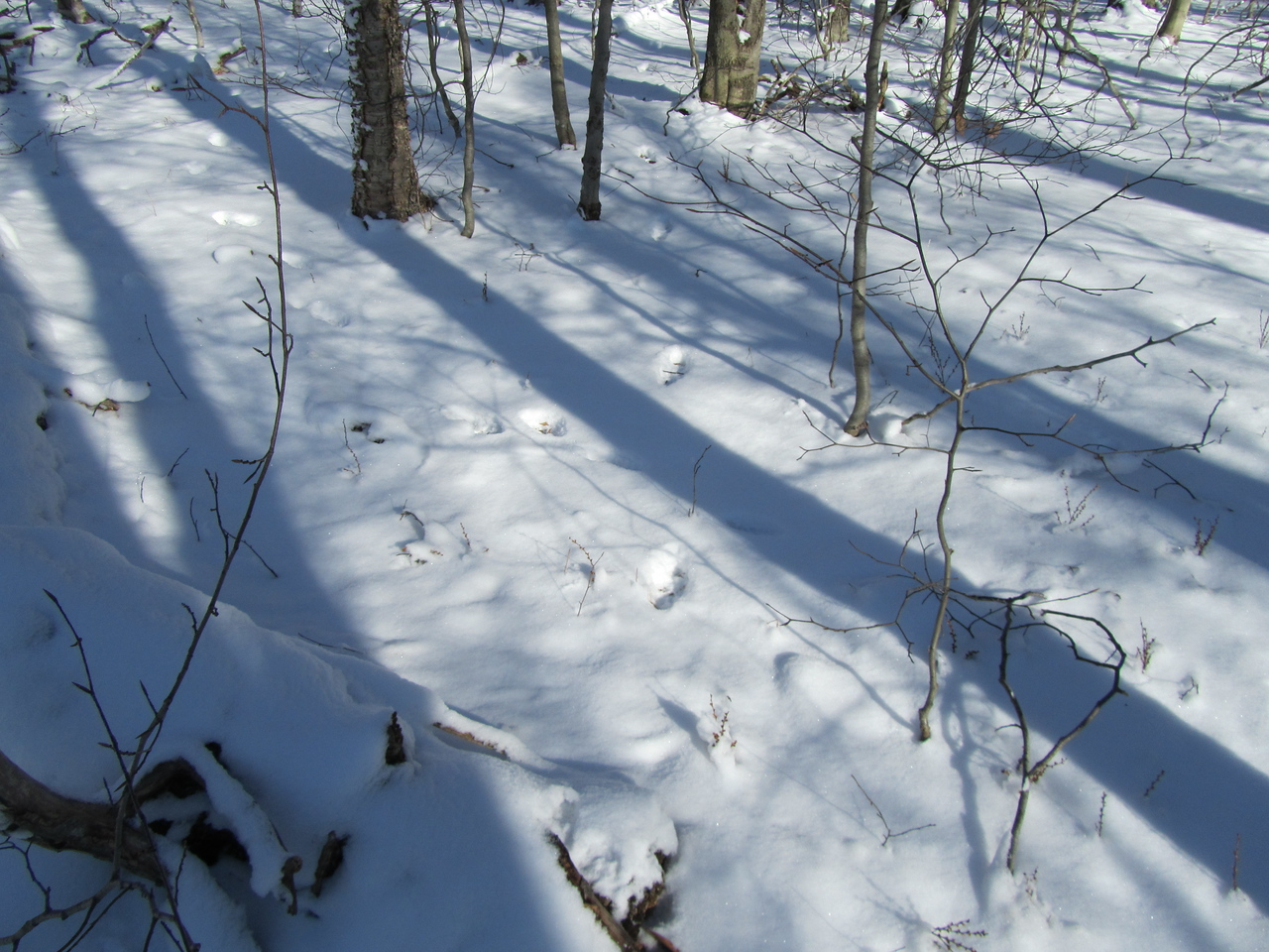 This was where the dog went berserk, running all over sniffing and tracking. I assumed we jumped some deer but not with these tracks. They were definitely a Kanine or Feline of large size with a big gait and interesting pattern.
