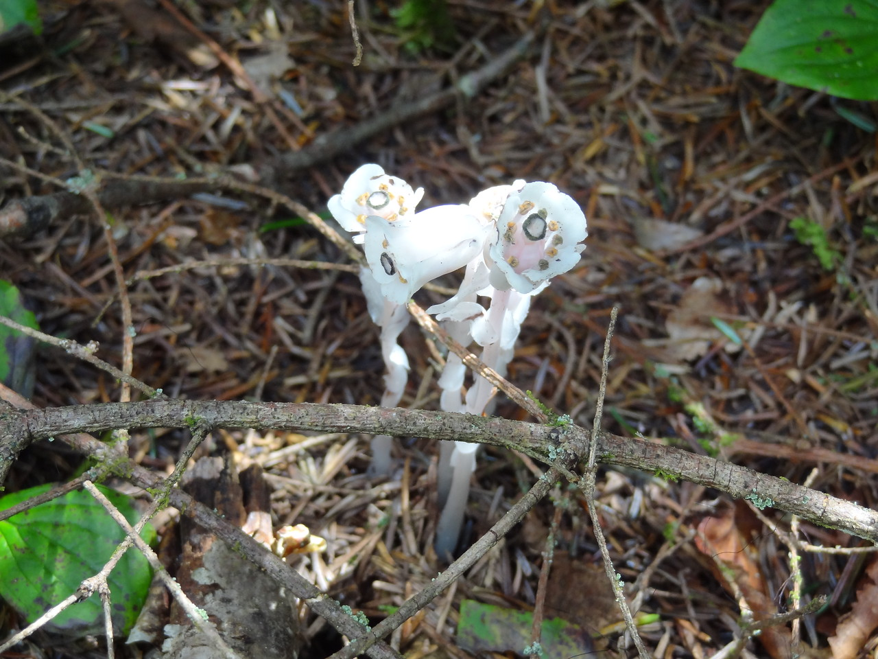 Plant Lore:<br /> As a saprophytic or parasitic plant, Indian Pipe derives it's nutrients indirectly from the roots of green plants. The source of nourishment comes from a subsurface mycorrhizal fungi which connects to the host plant. The fungi act as the middleman in the process of acquiring nutrients from the host and transporting it to the Indian Pipe. <br /> The flower has the bisexual parts, like most other flowers, and is pollinated by insects. Once pollinated, the plant dries up and turns dark in color. The nodding flower turns upright and becomes the fruit capsule to hold and disperse the seeds. This stalk can remain through winter and into the next summer. Once the seeds are dispersed they quickly form the mycorrhizal fungi connection.
