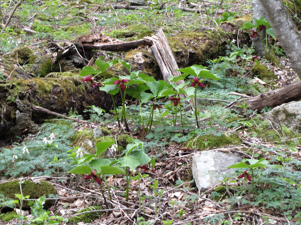 The purple trillium or stink flowers were everywhere.