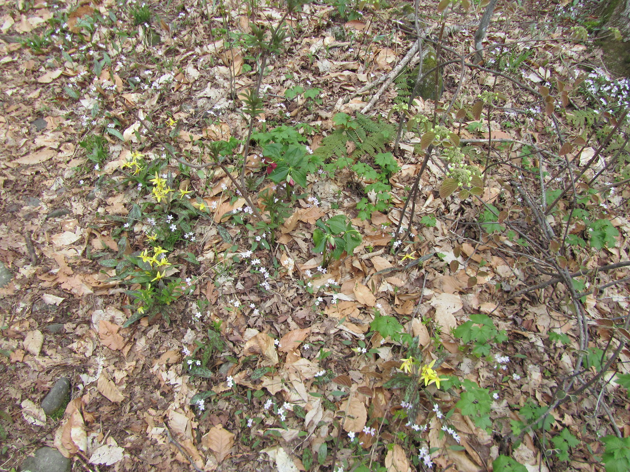 Trout lillies, purple trillium, white violets, ramps, fiddleheads and a yellow flowering shrub.