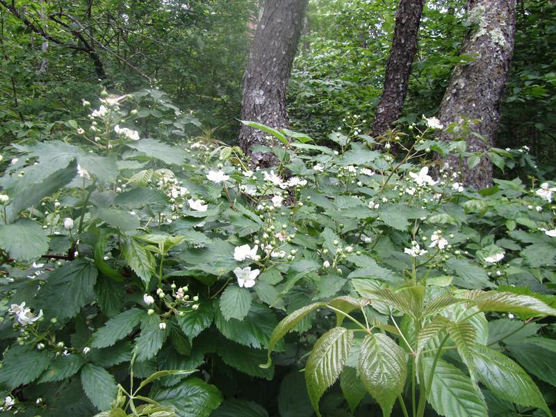 More multifloral rose.