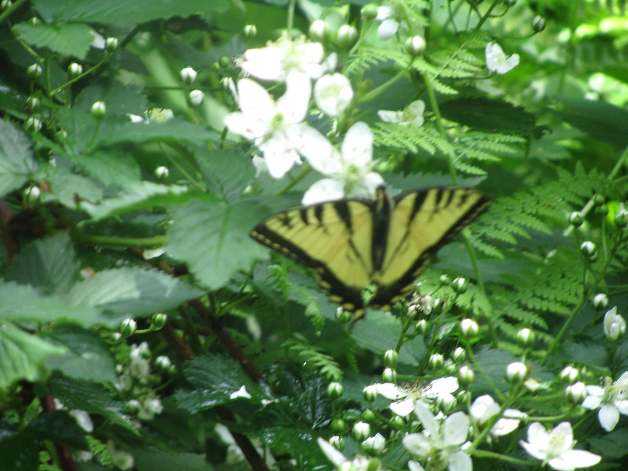 Eastern Tiger Swallowtail refusing to stay still for the photo op.
