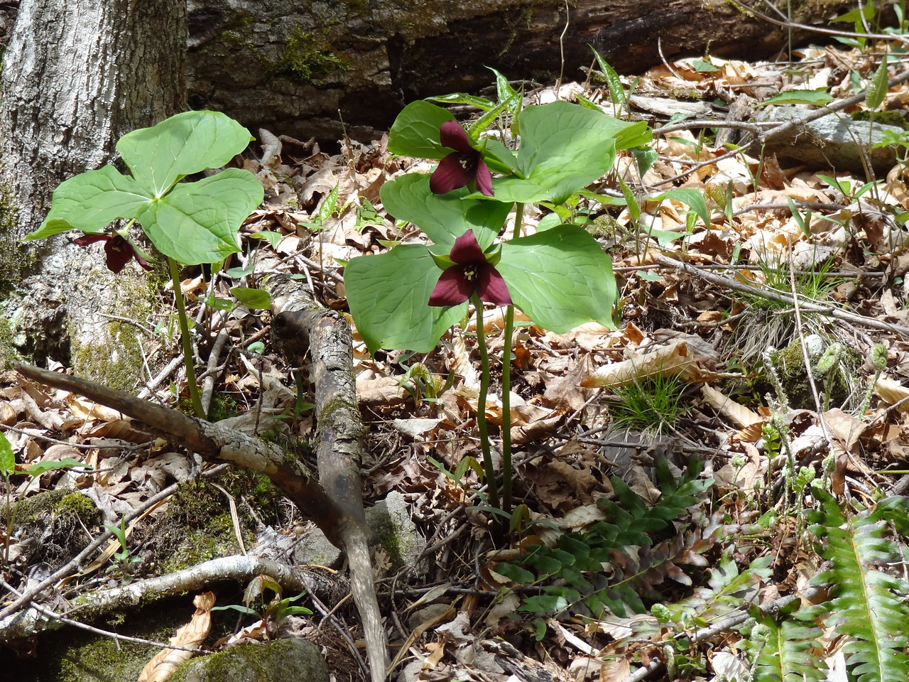 Purple Trillium, the official symbol of Ontario, eh. It was chilly last night, could have used a toque.