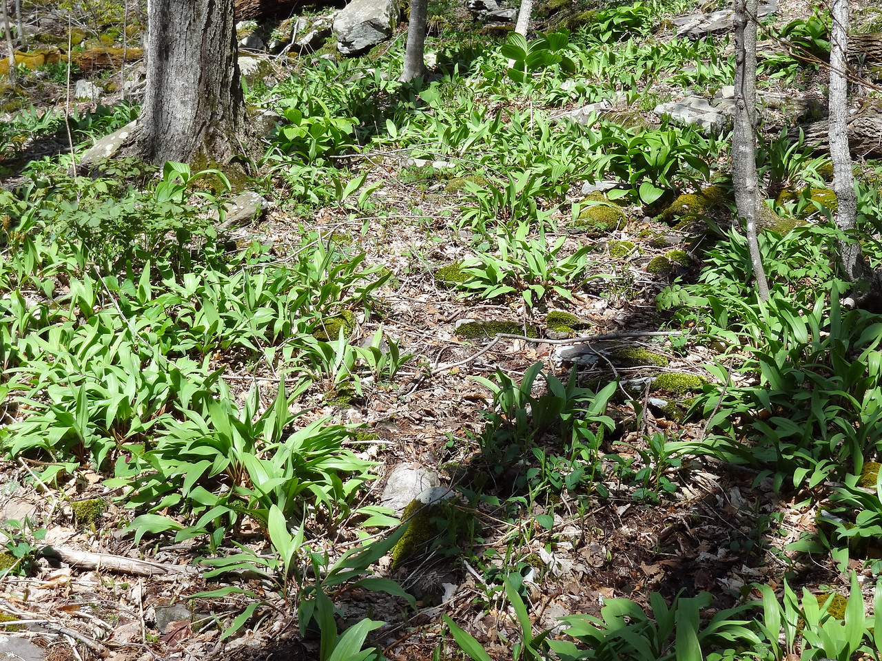 Abundant wild ramps. Make your pants go root-a-toot-toot. I picked a big bunch for Dick Senger, my future father-in-law. And it is strictly that Jenny is a hottie, not that Dick has a fishing camp on Oneida Lake. I went there once to install the dock into 33°F water, then I was promptly asked to leave until the end of the season when we had to pull the dock out. Boy, did it look fun when the family piloted away in the new boat....