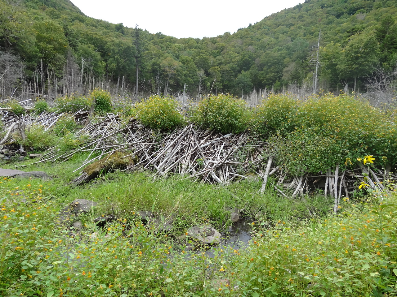 An old dam covered in spotted touch-me-nots.