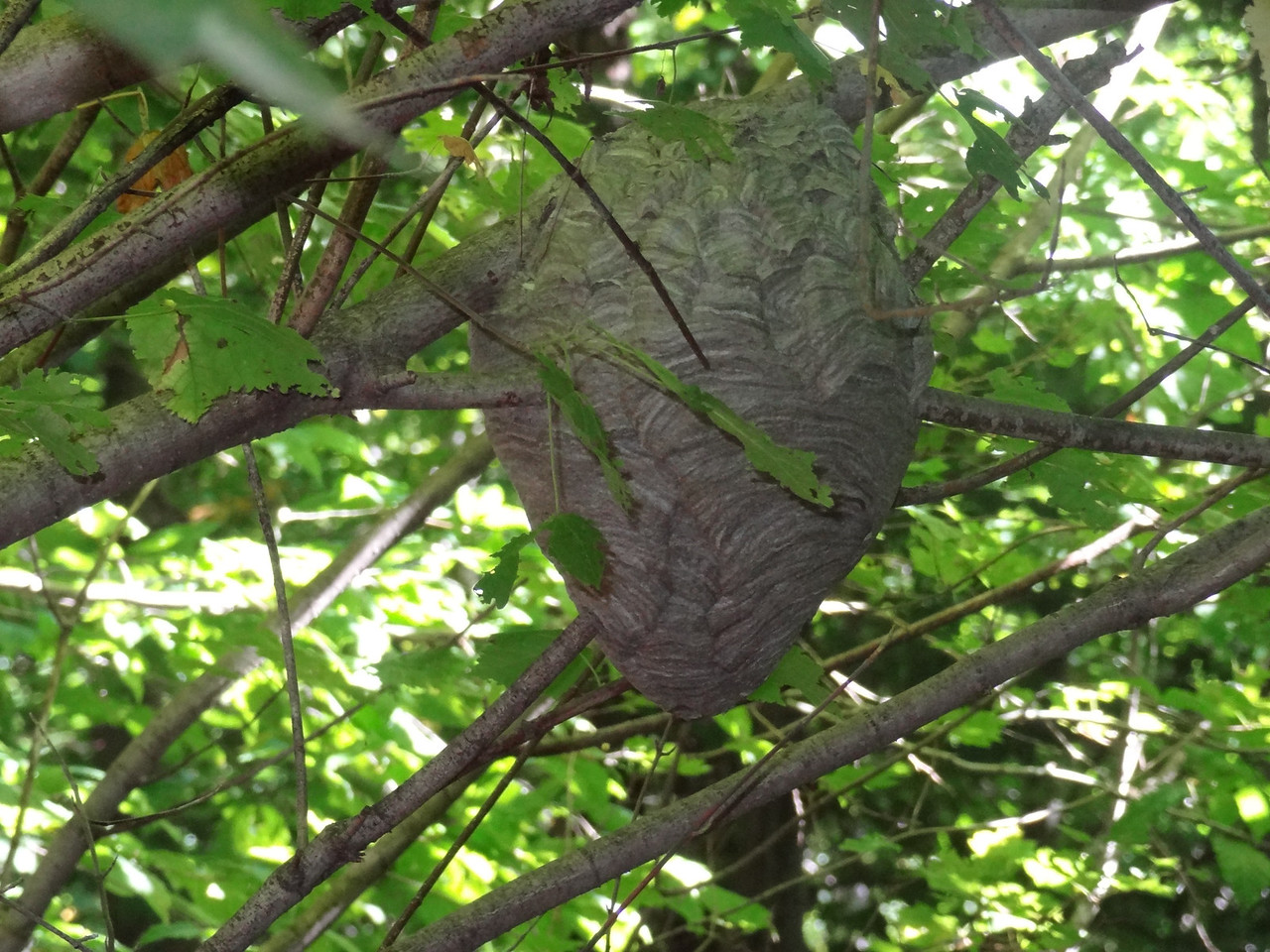 Solè saw this wasp hive and interestingly the wasps were still active at 45°F.