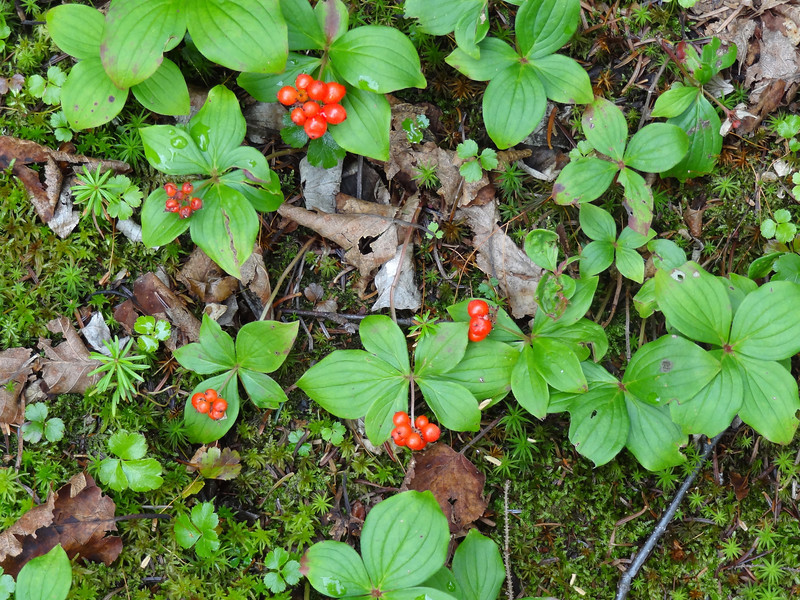 Some bunchberry dogwood. The berries are edible but apparently the seed is large and hard and the meat sticks to the seed like a hanging chad sticks to a FL ballot.