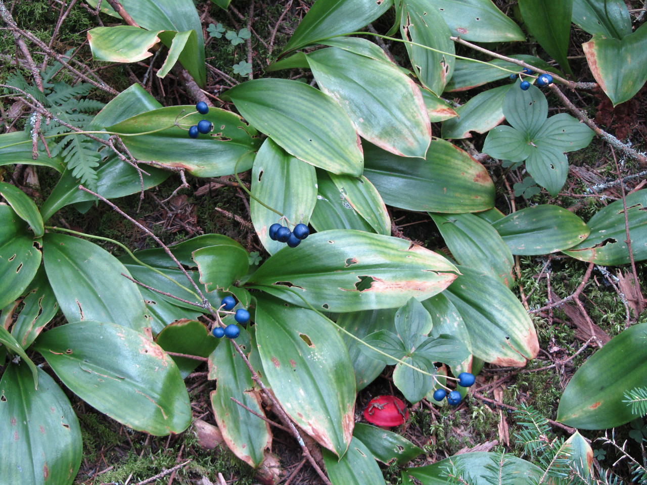 Interesting blue berries and a red mushroom.