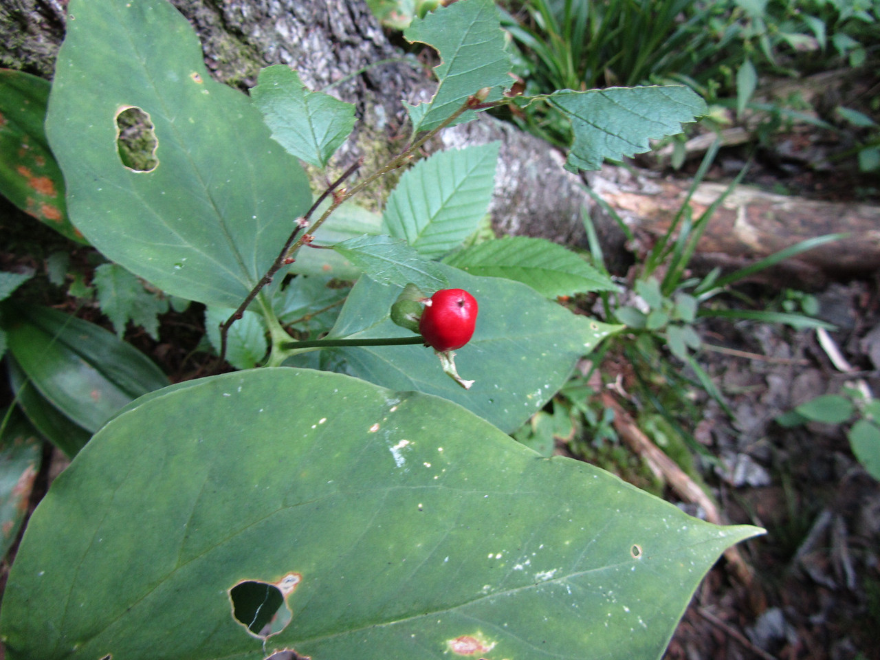 Interesting red berry. Not sure what type but I was hoping Joyel would try one to see if it was safe to eat.