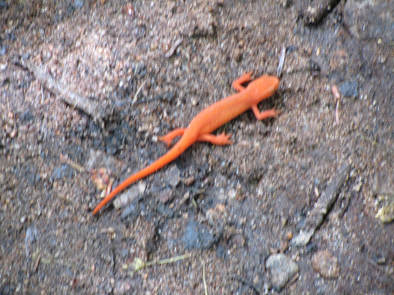 This newt was ripping through the under-brush! Had to be doing 30-40 mph. As an outdoorsman and Master Forest Owner Volunteer, I saw him, grabbed my camera in the blink of an eye and snapped a picture before he was gone.......... It is a little blurry but so is a 108 mph fastball from Nolan Ryan.